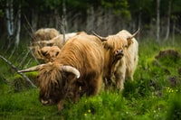 brown bulls in forest