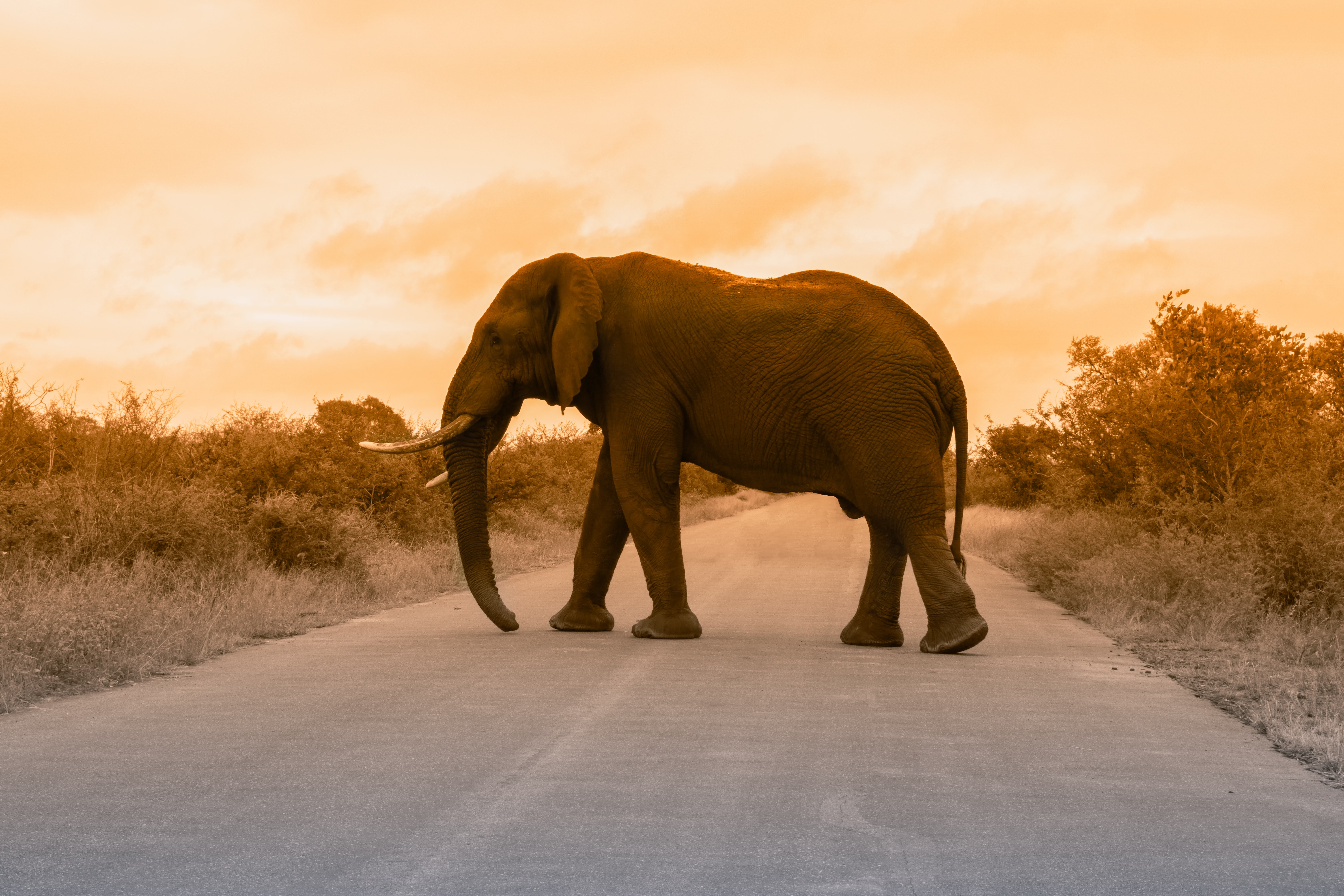 silhouette photo of elephant in the middle of the road