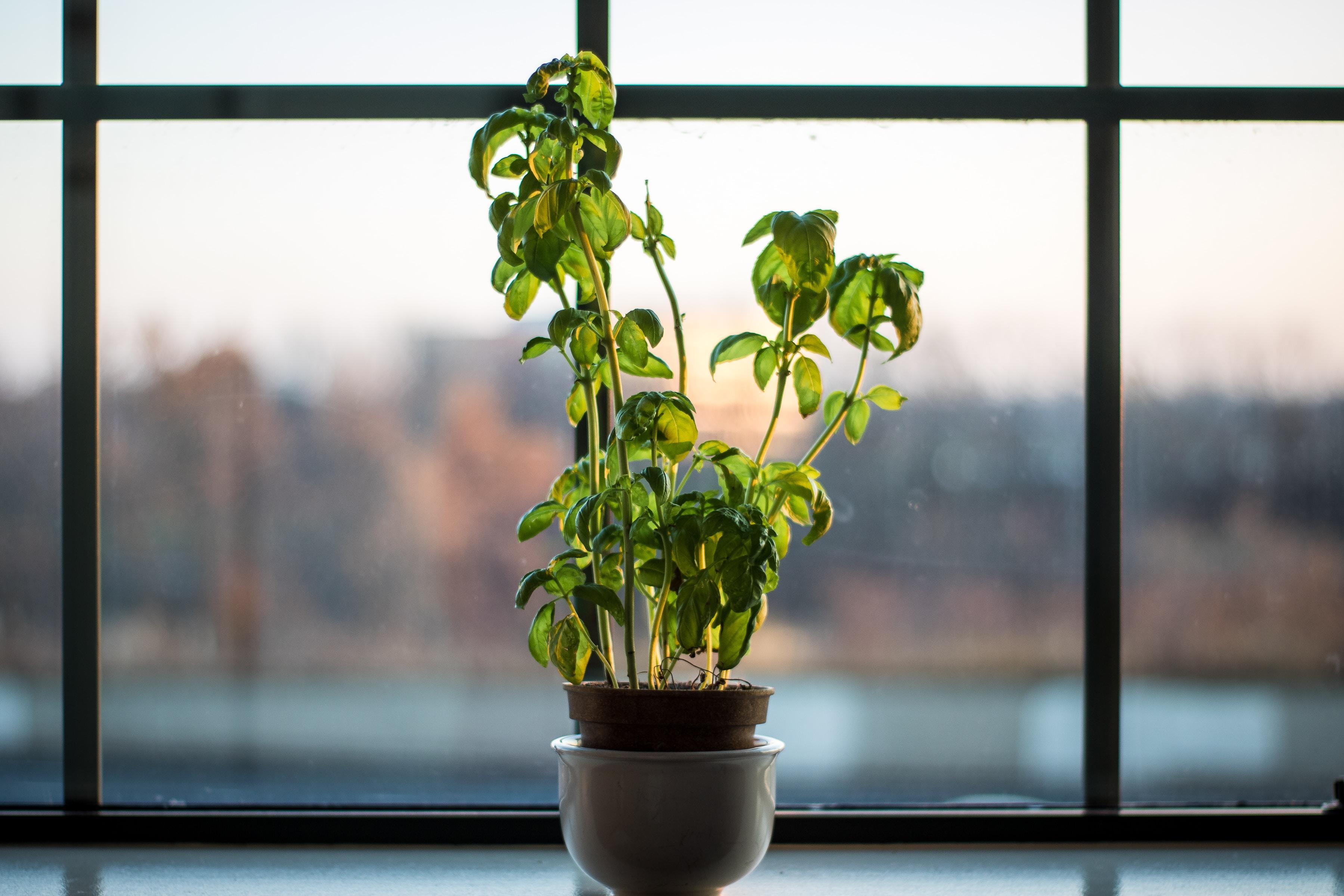 green leafed plant near window