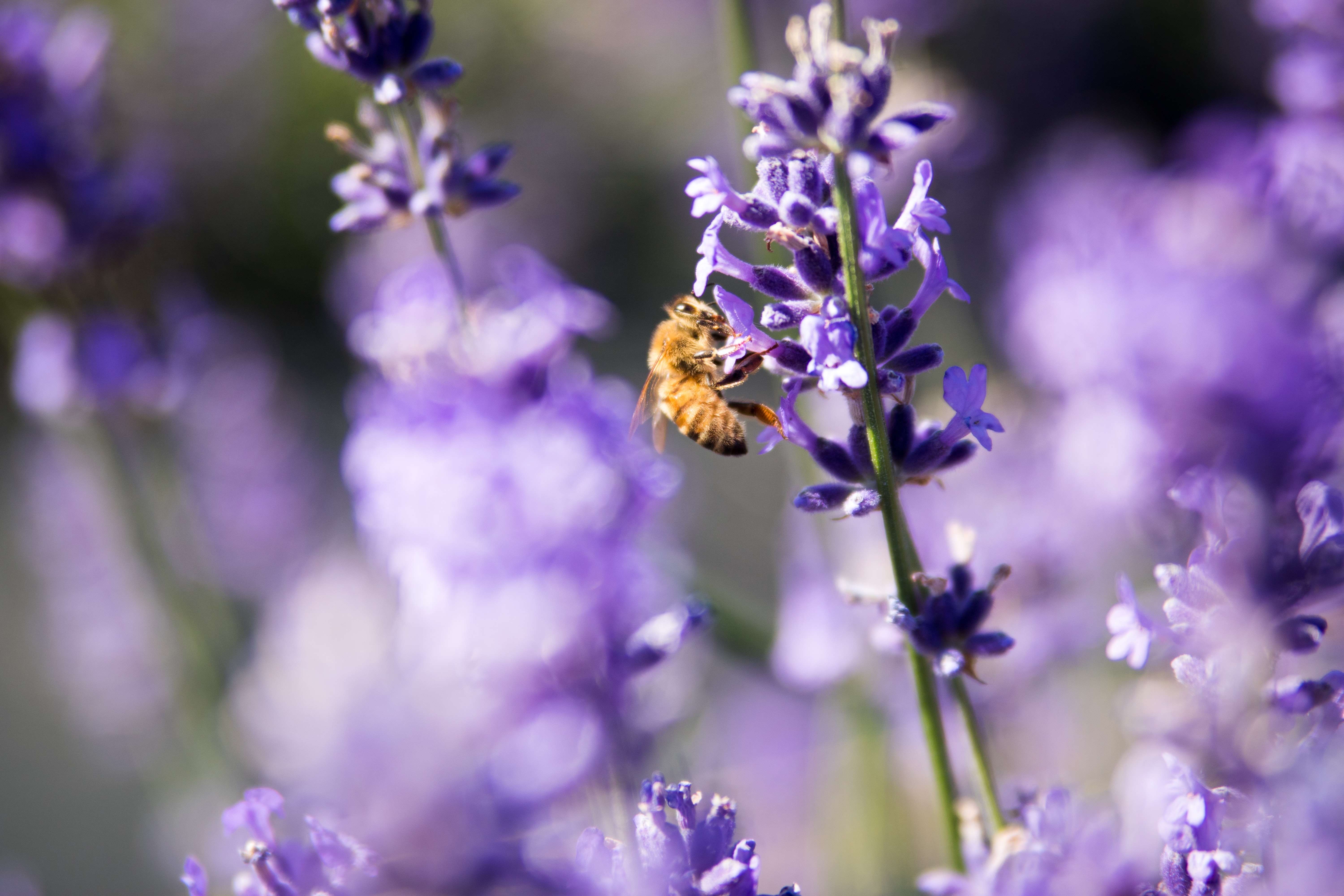 selective focus photo of bee sipping the nectar of purple cluster flowers