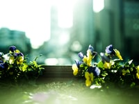 shallow focus of blue and yellow flowers