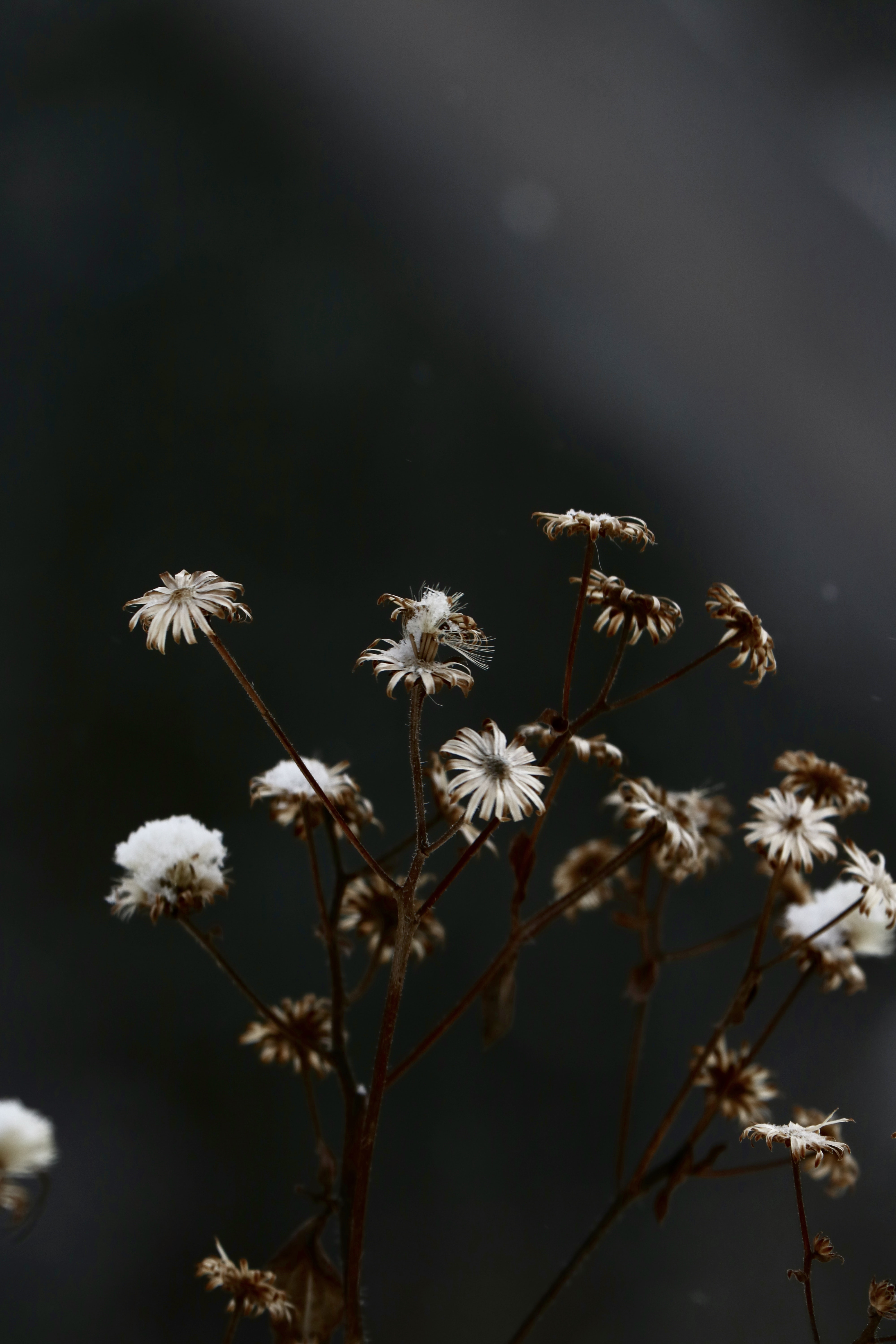 selective focus photo of common daisy flowers