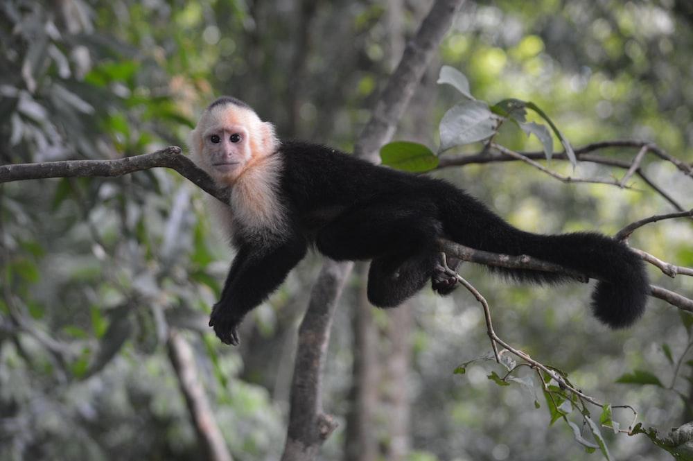 black monkey on tree branch