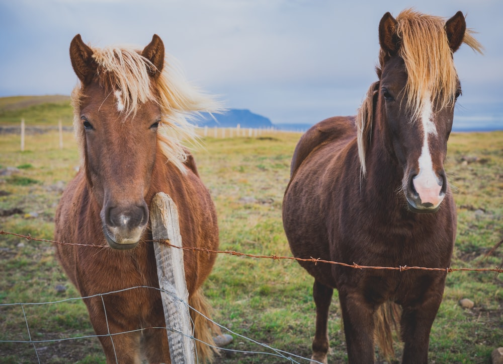 two brown horses standing near brown barbwire fence at daytime
