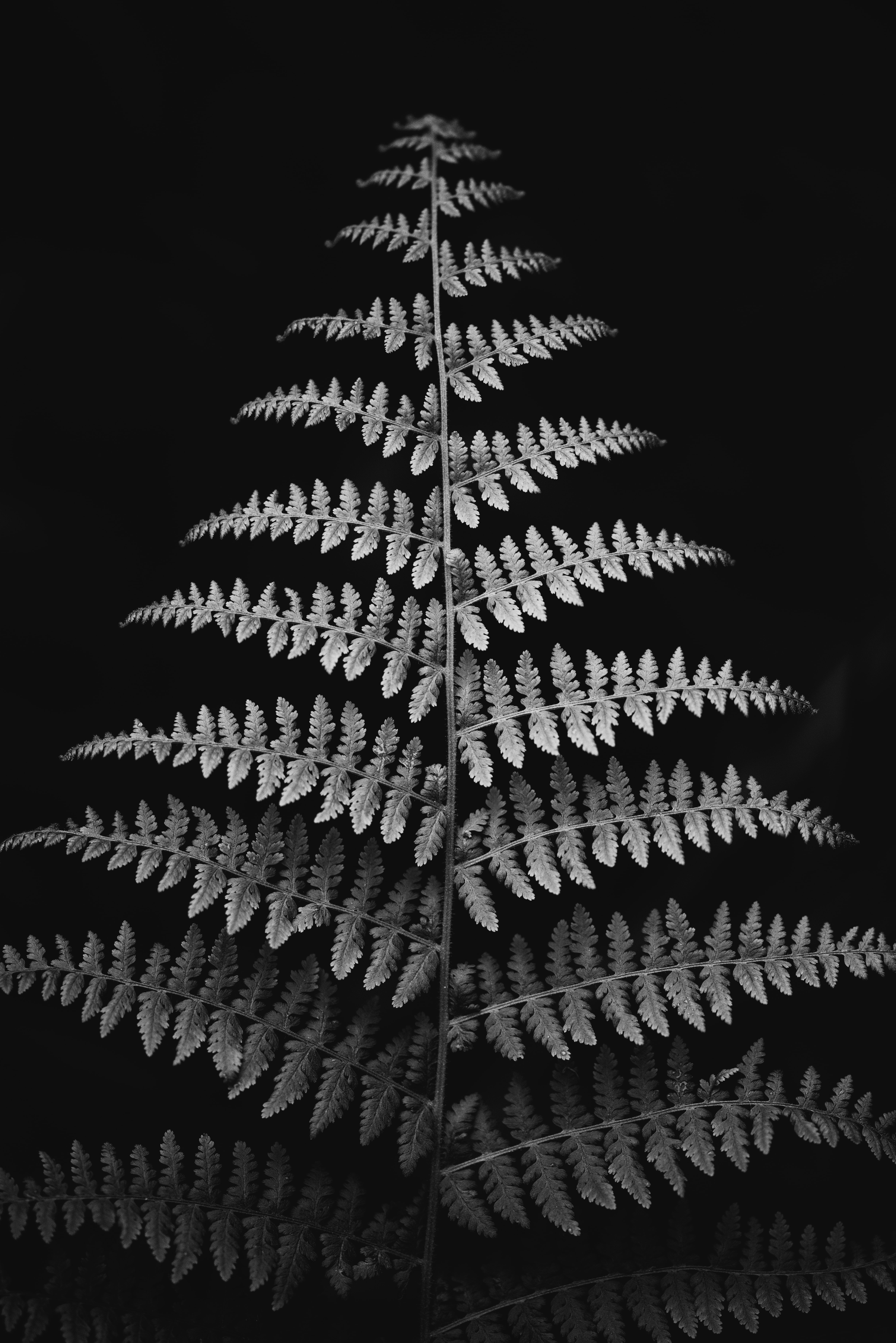 grayscale photography of fern plant