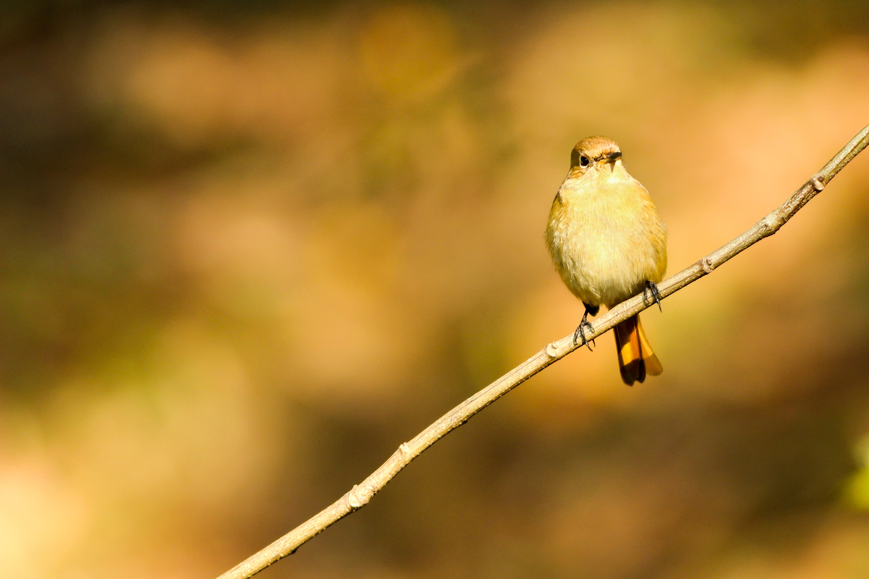 small brown short-beaked bird on brown twig
