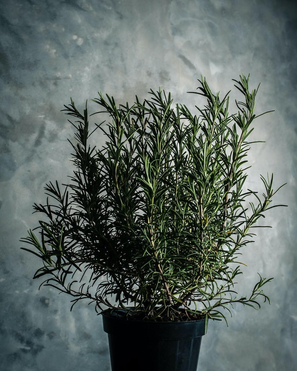 green rosemary plant