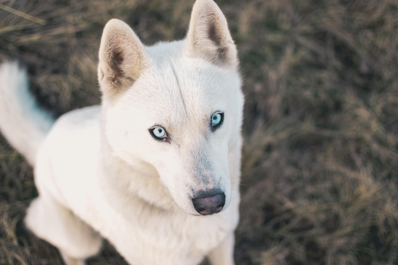 adult white German shepherd