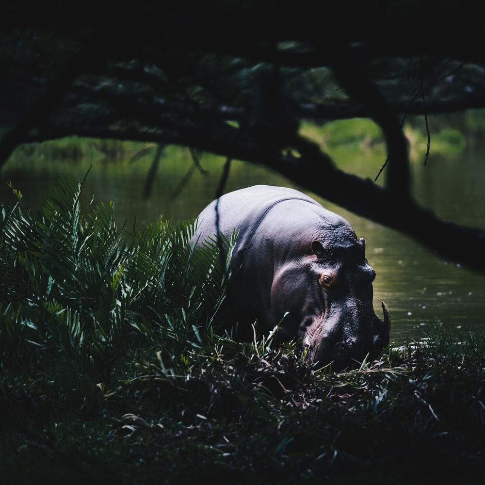 black hippopotamus on body of water
