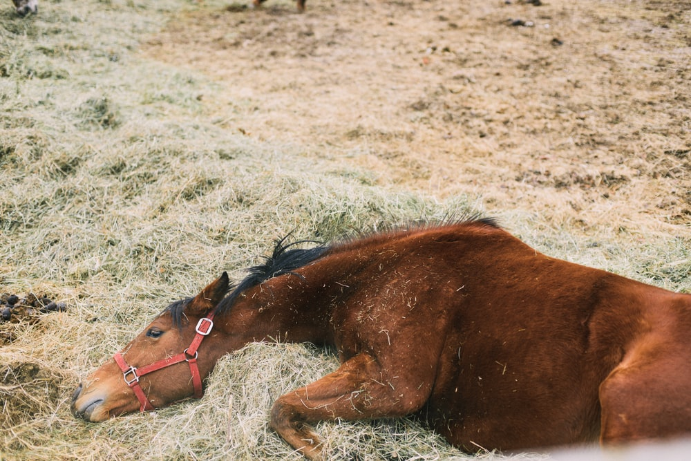 brown horse lying on green grass
