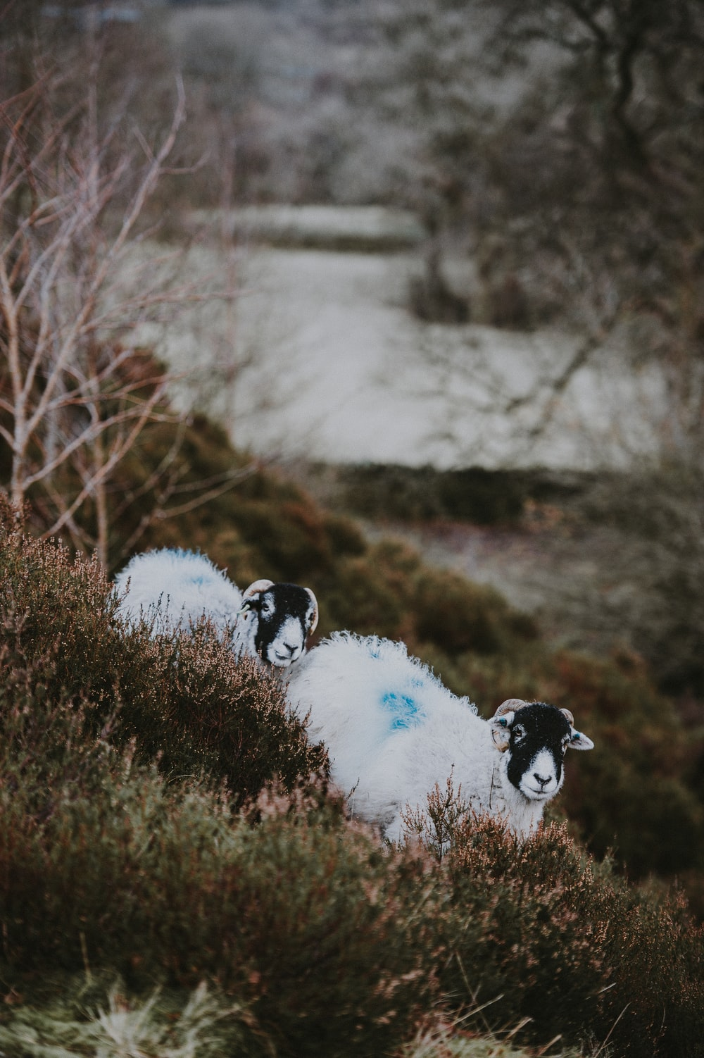 two white-and-black sheeps overlooking body of water during daytime