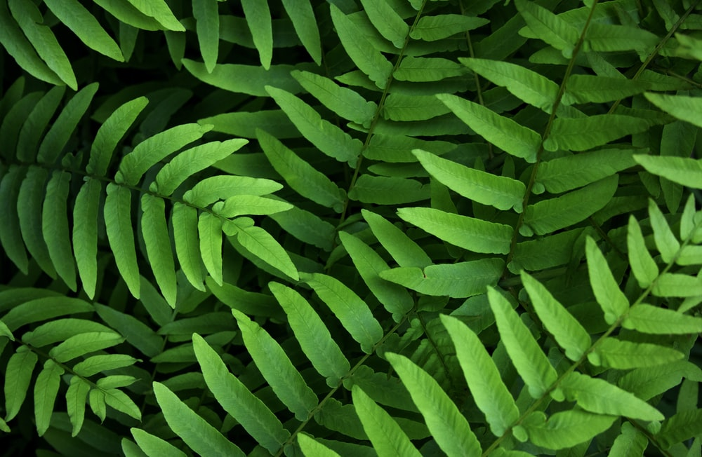 close up photography of green fern plants