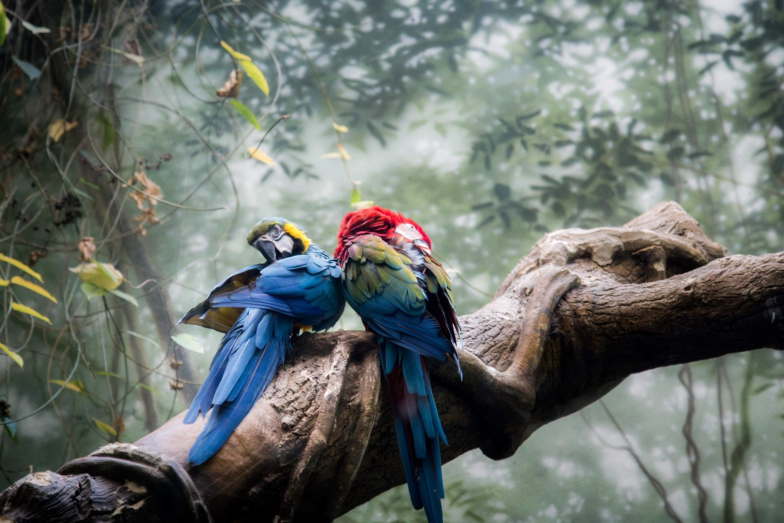 two multicolored parrot on brown wooden trunk surround by green plants