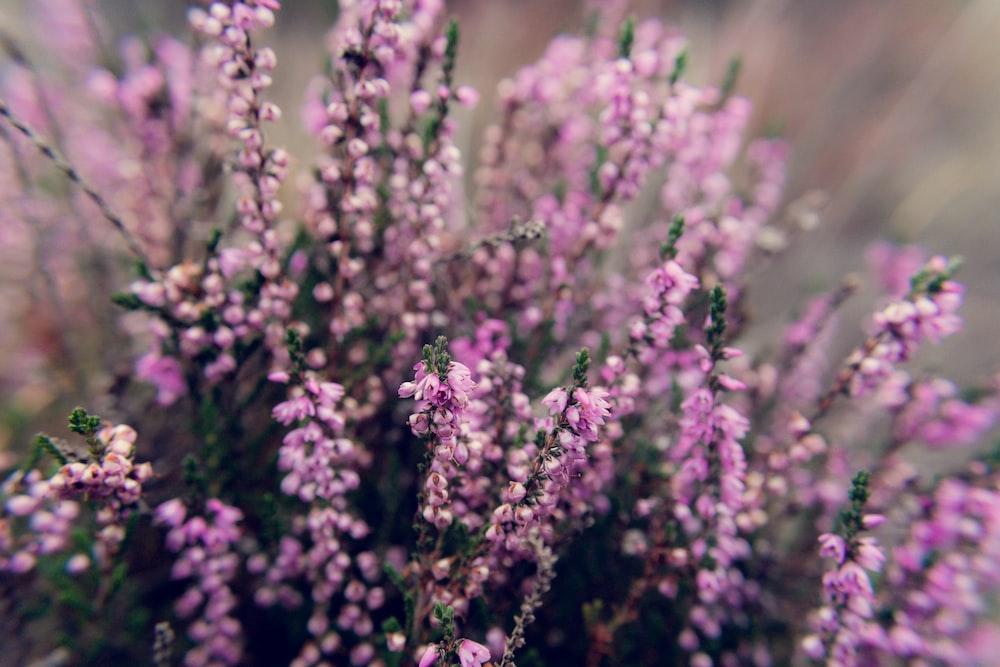 photo of lavender plant