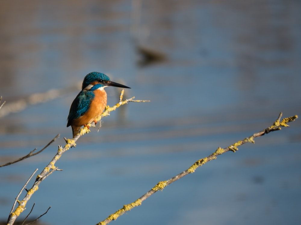 blue and brown kingfisher on tree twig near river during daytime