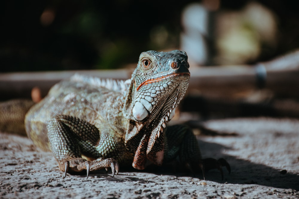 selective focus photography of gray bearded dragon