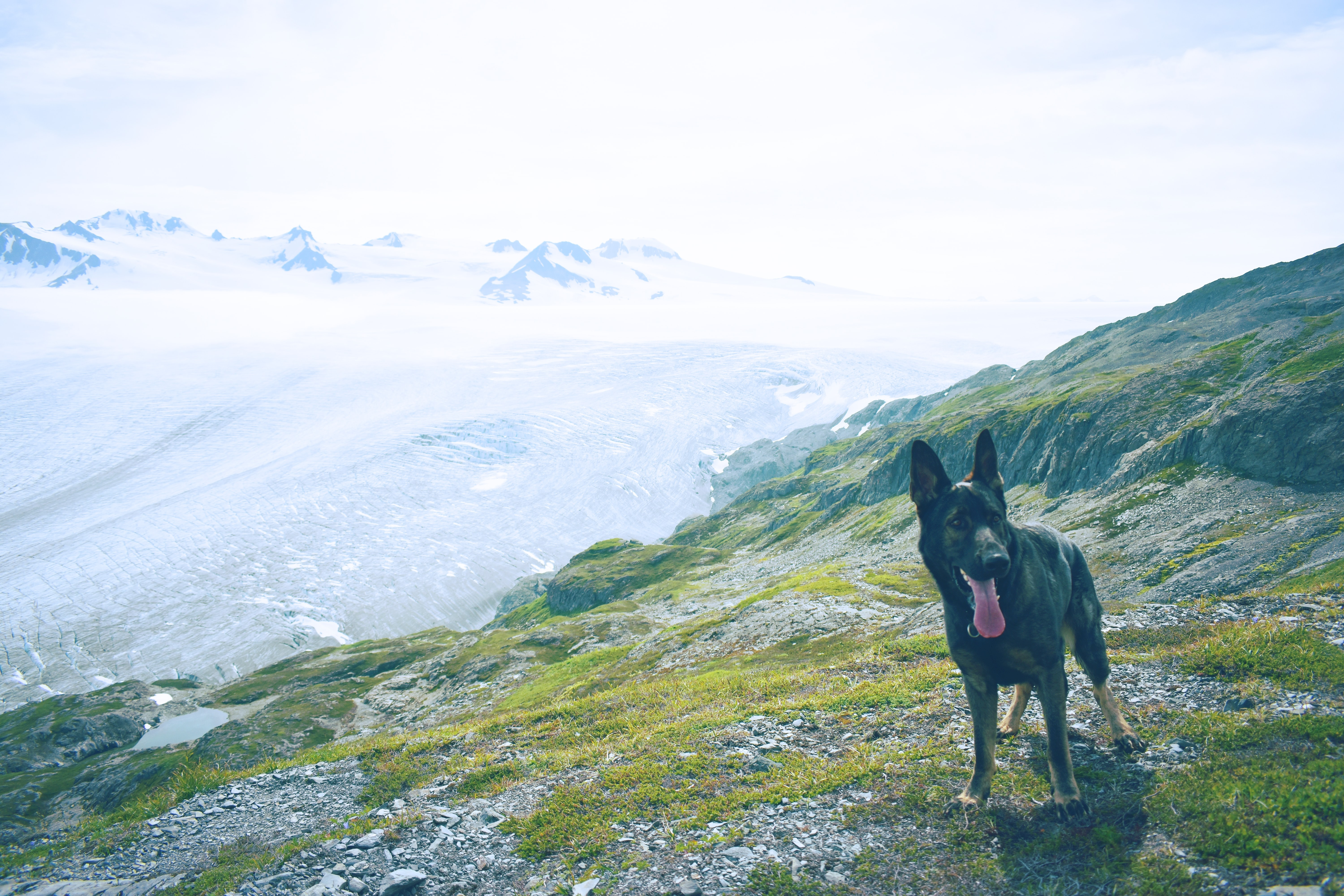 adult black and tan German shepherd standing on green grass on top of the mountain during daytime