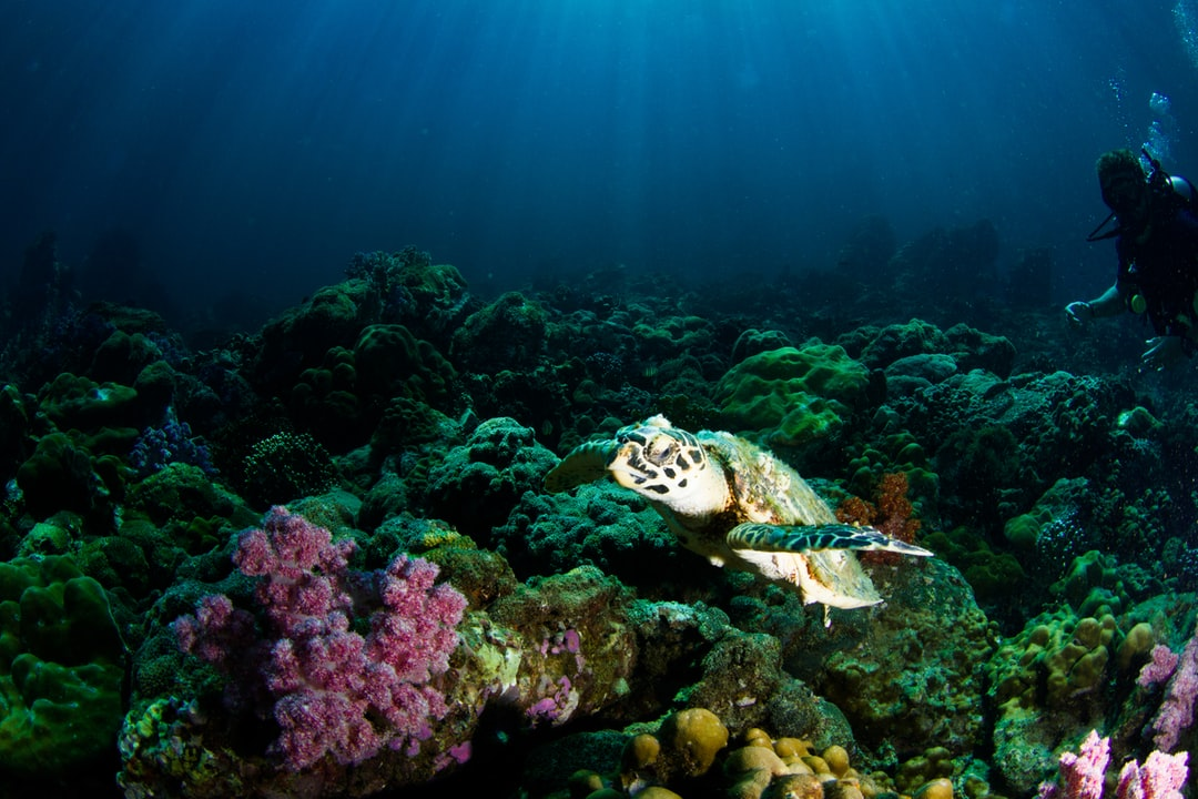 Turtle In The Corals