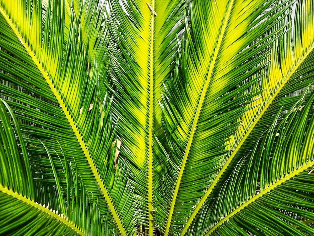 green sago palm tree
