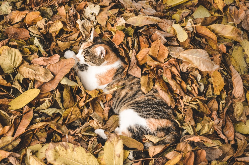 white, brown, and black cat laying on dried leaves surface at daytime