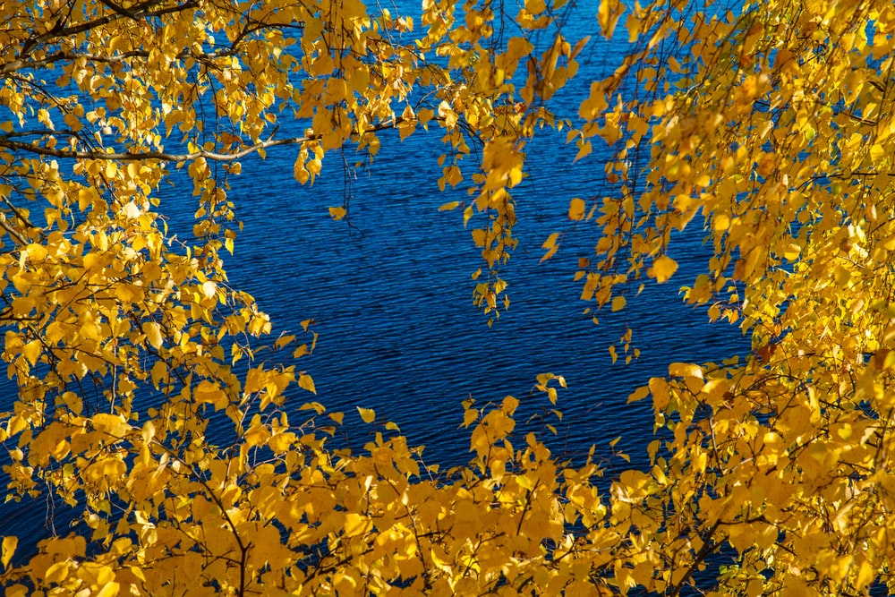 blue body of water shot through of yellow leafed tree