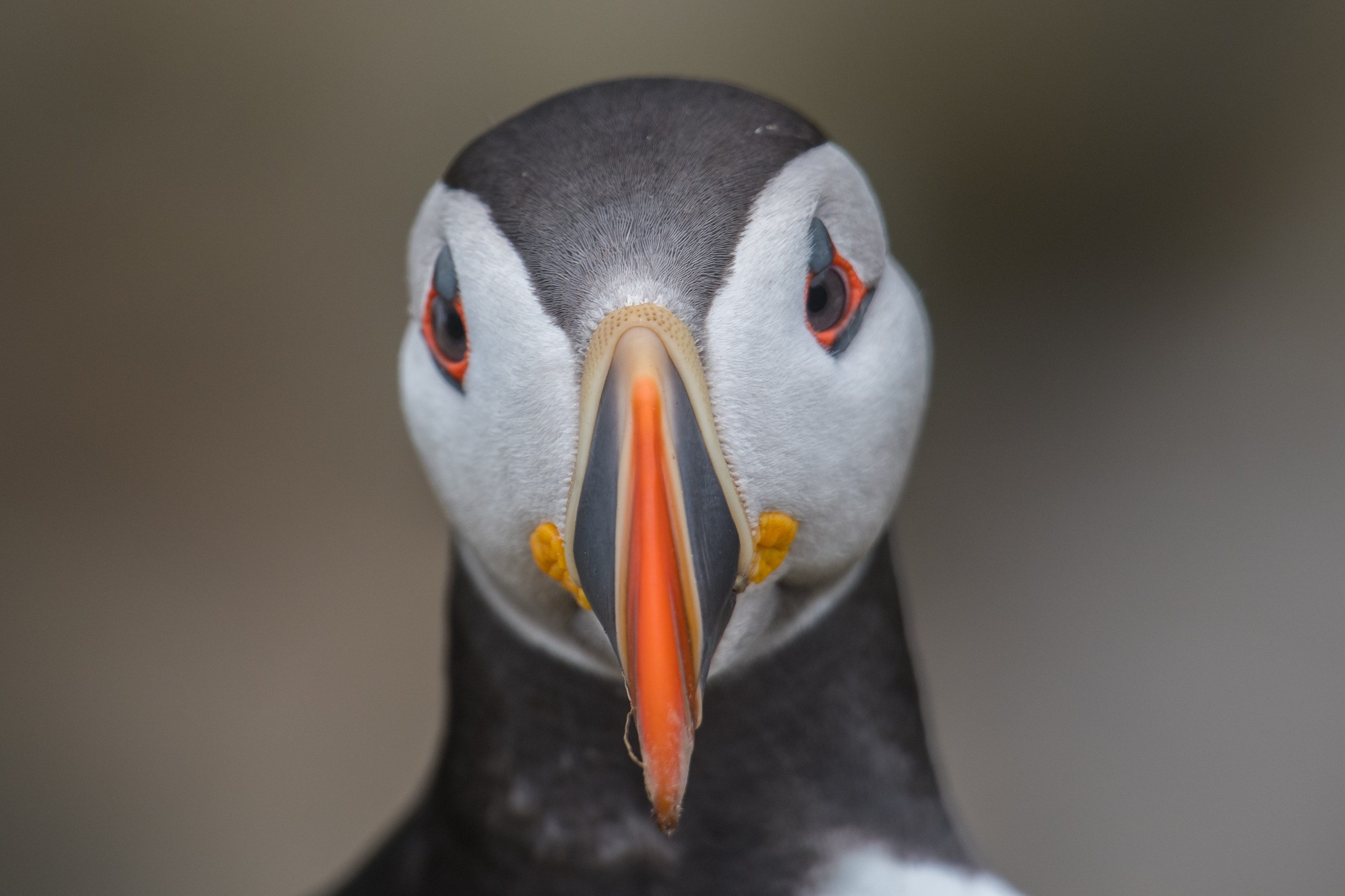 close-up photo of puffin