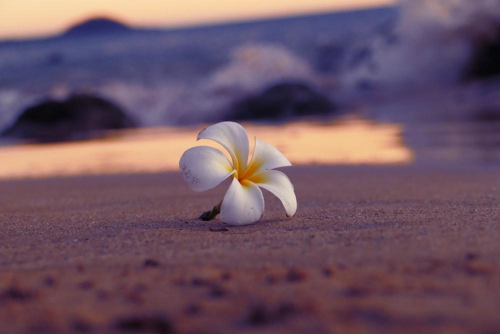 white 5-petaled flower on brown sand beach