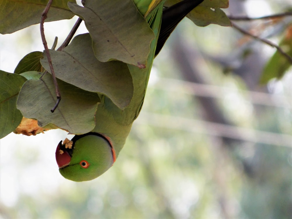 photography rose-ringed parakeet pearching on brown leaves during daytime