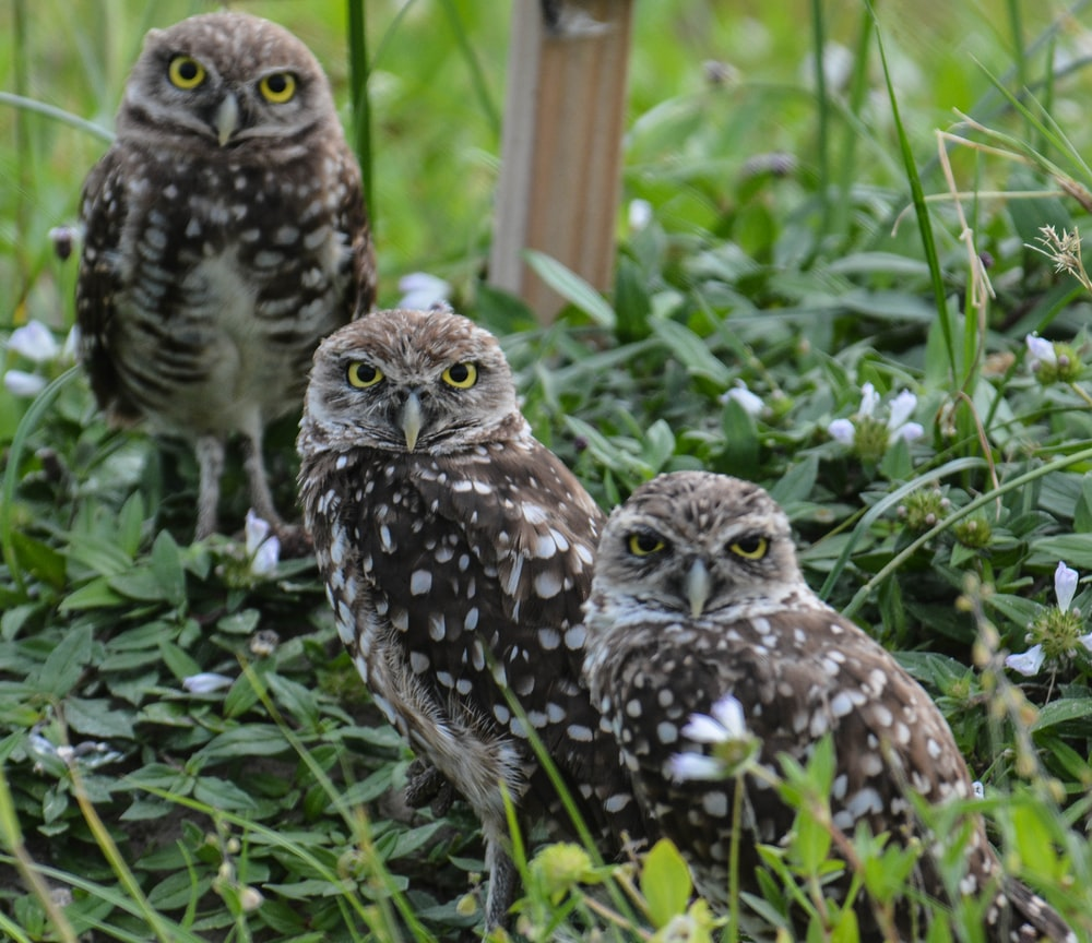 three brown owls on the ground photography