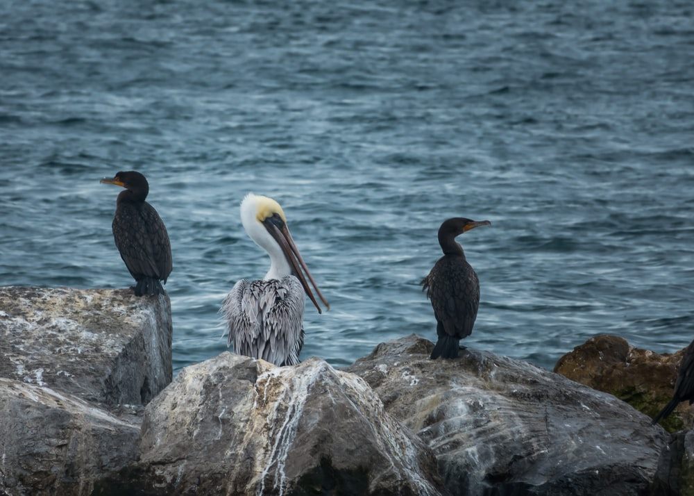 white and gray pelican beside black birds during daytime