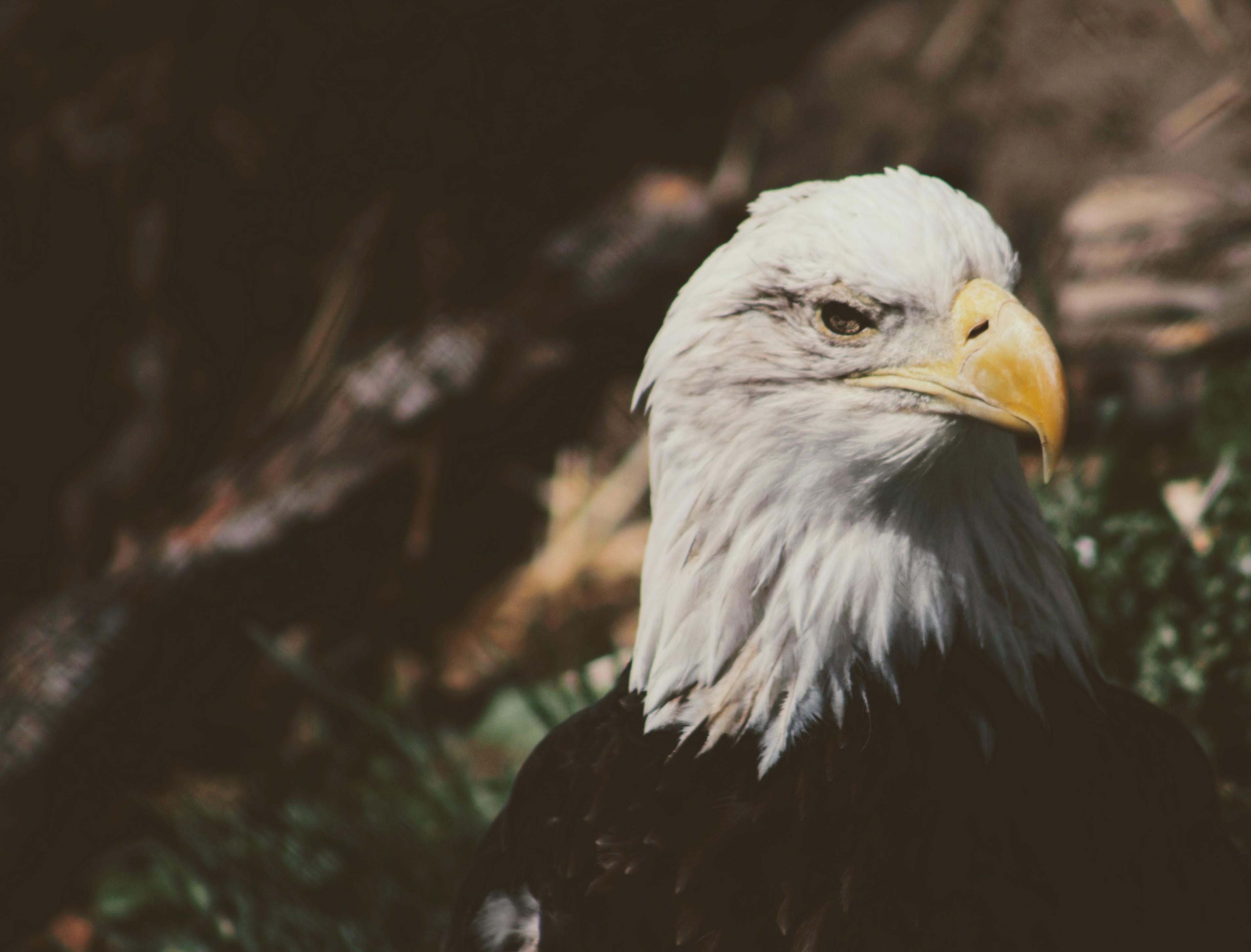 Bald eagle in macro photography