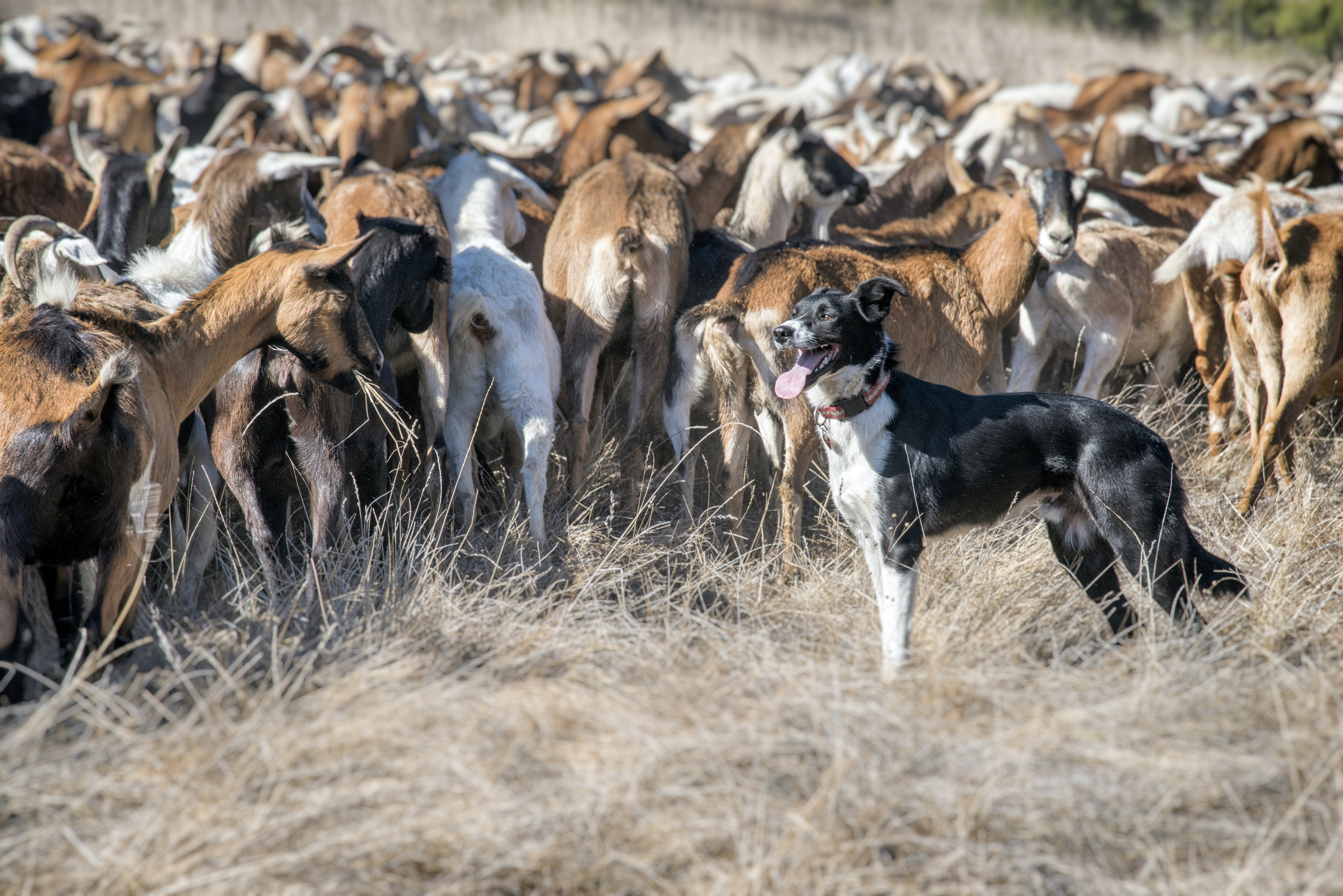 herd of goat and black and white dog on pature