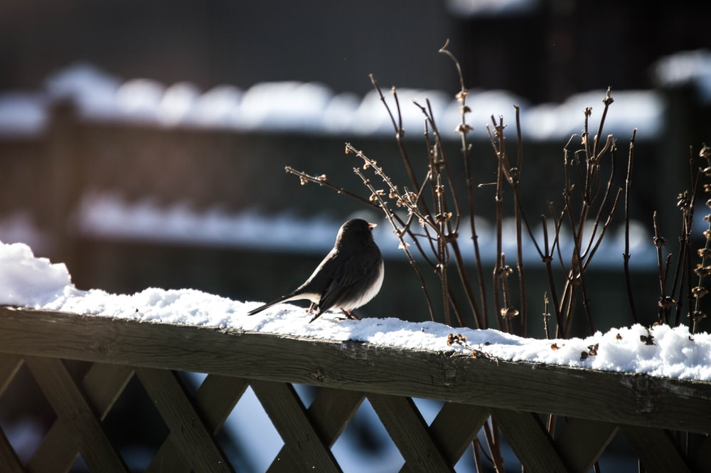black bird on brown wooden fence with snow