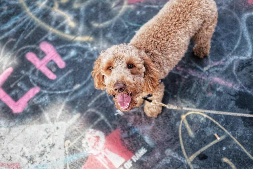 short-coated brown dog with leash