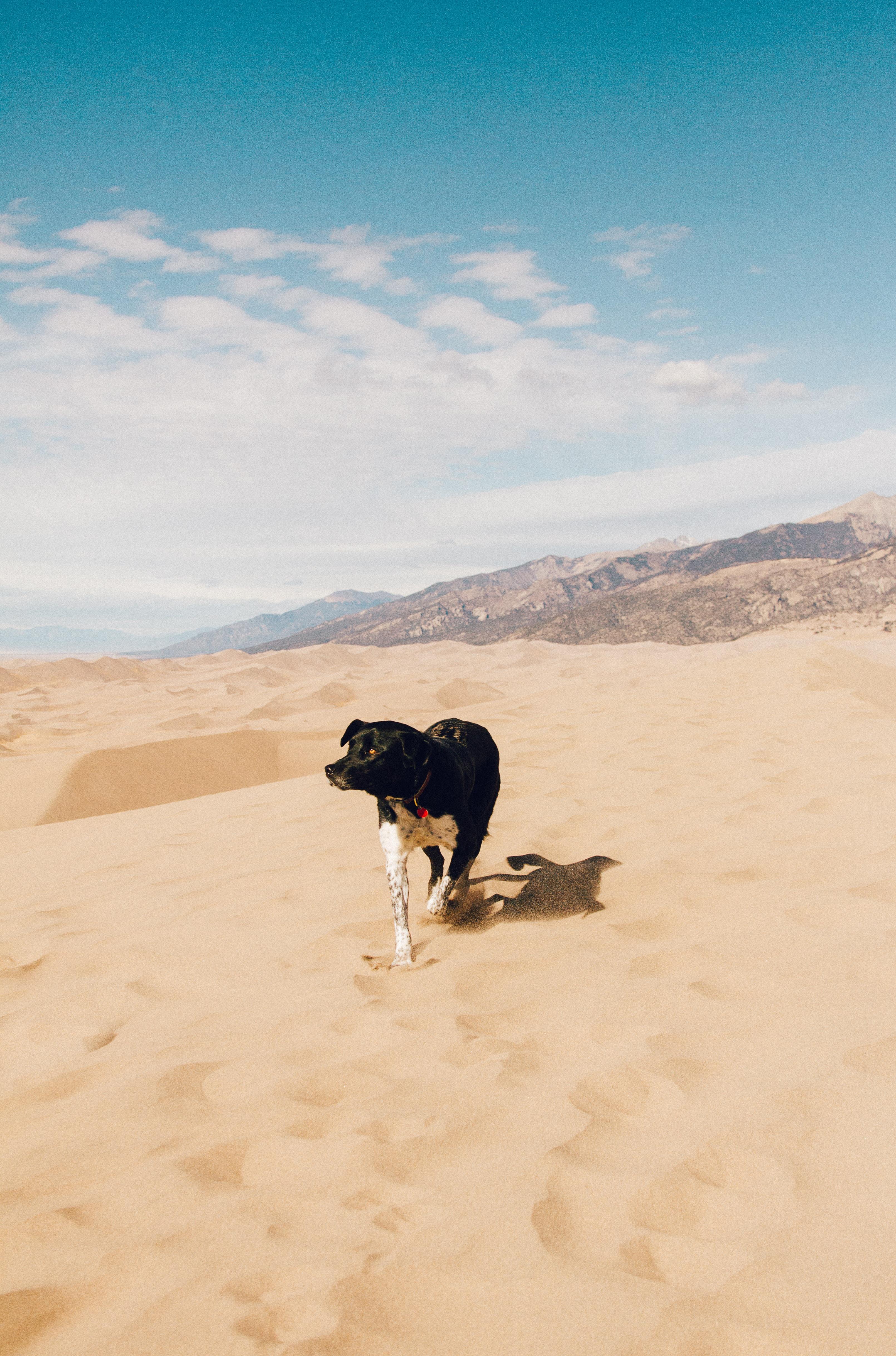 dog walking on desert during daytime