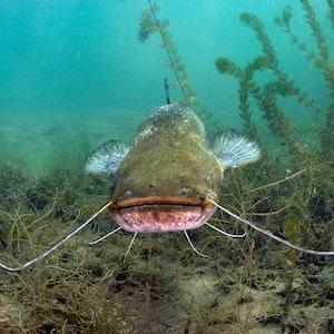 underwater photography of catfish