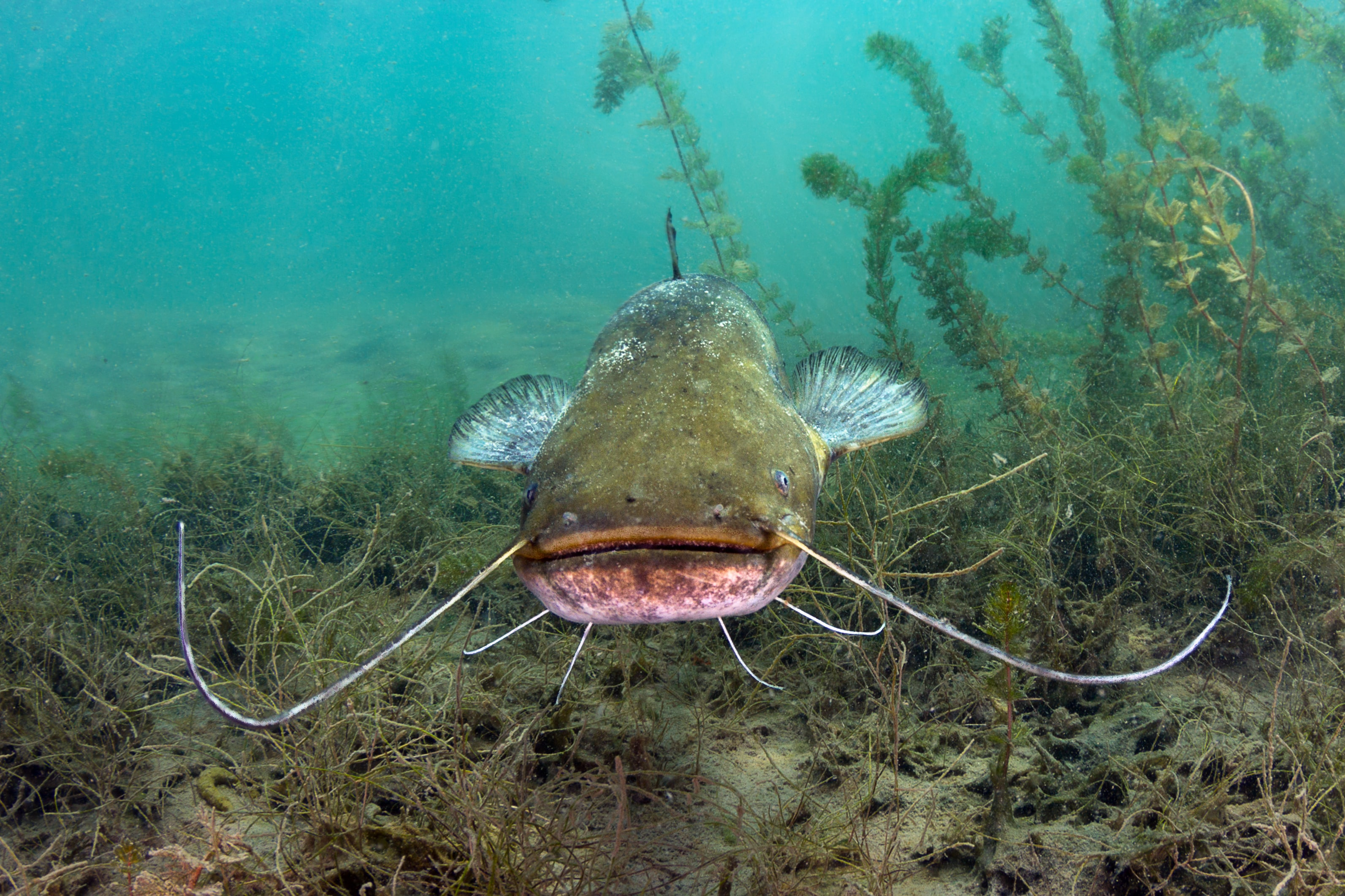 underwater photography of catfish
