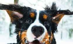 A Clear Look at the Best Dog Eye Wash