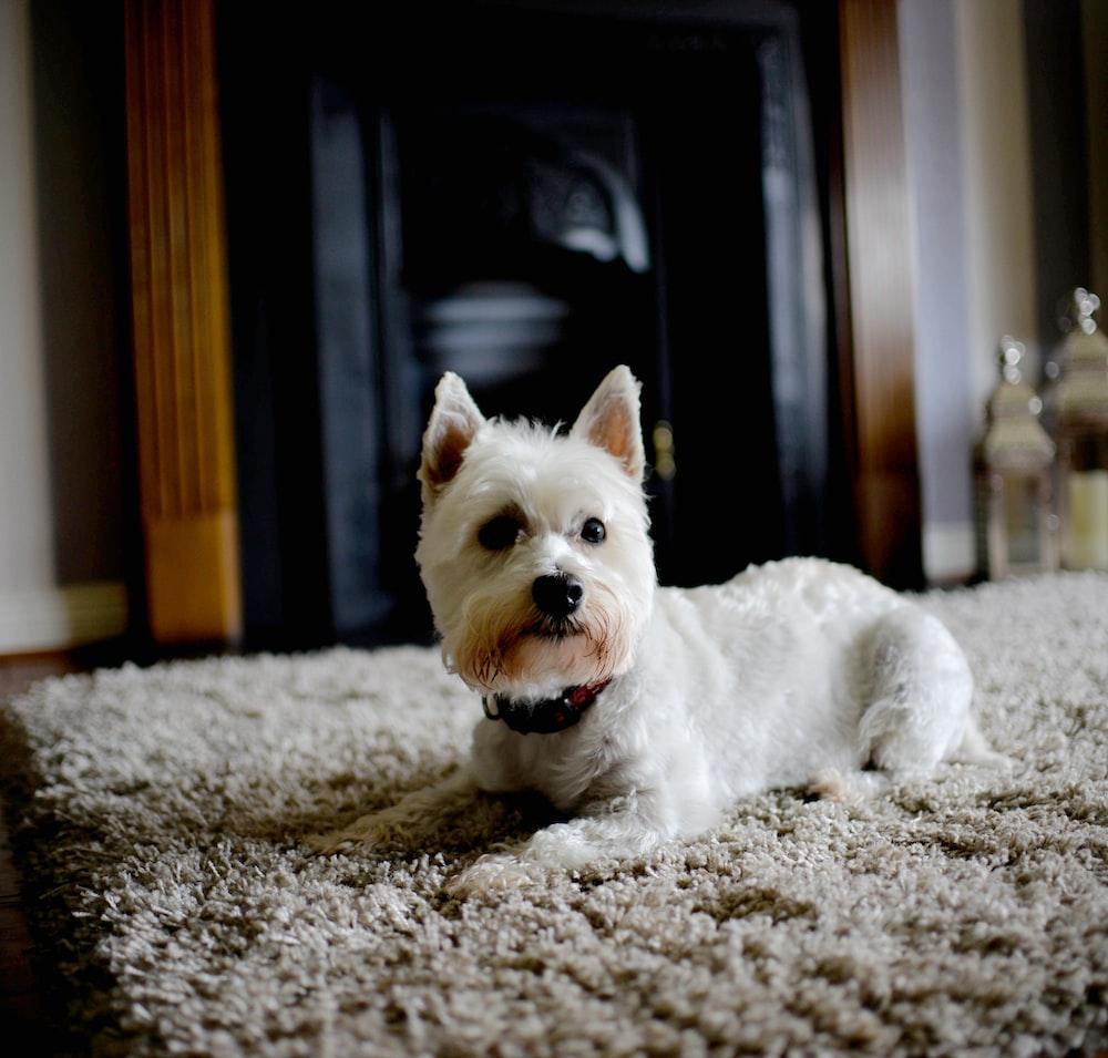 white dog on brown carpet