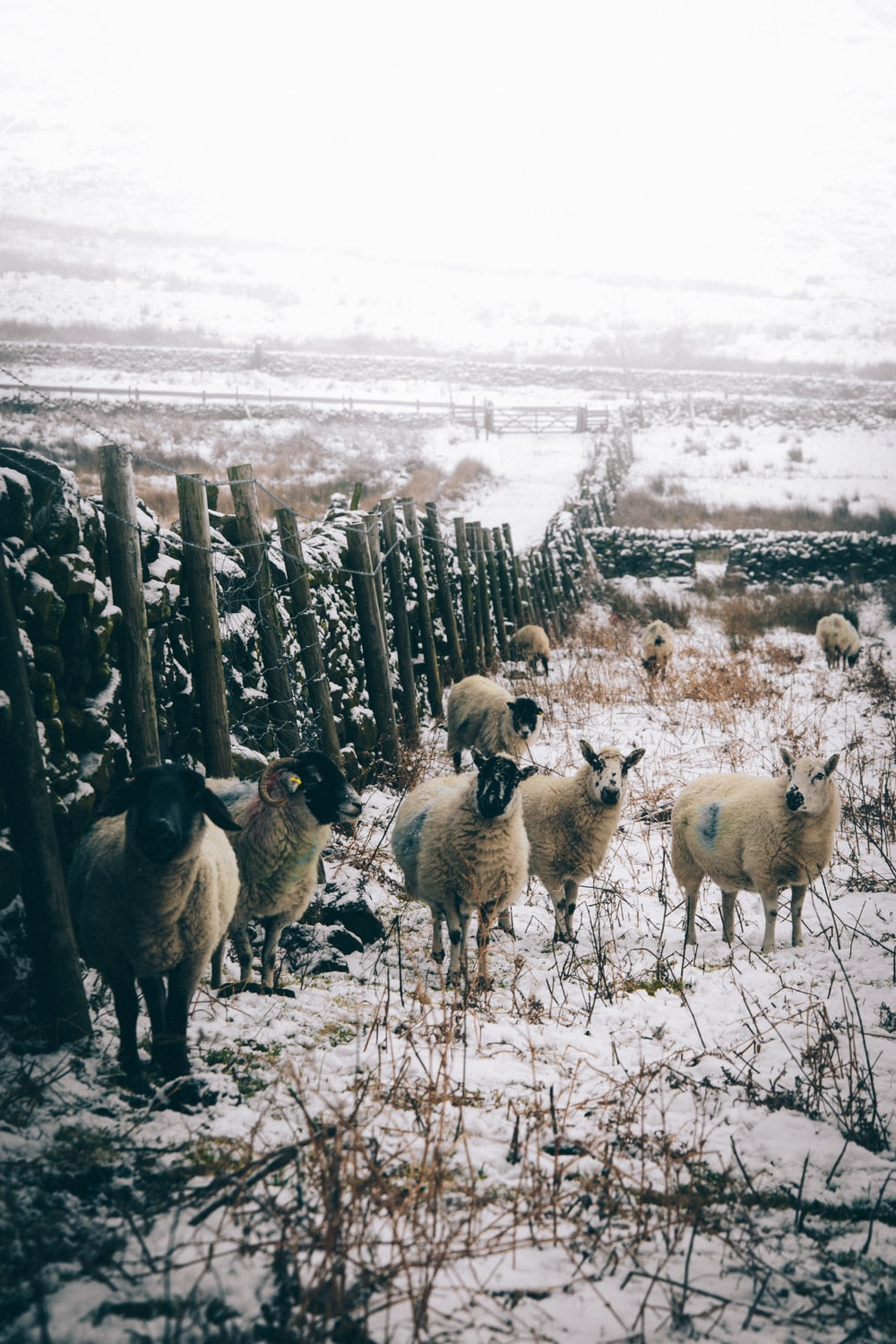 several white sheep and rams