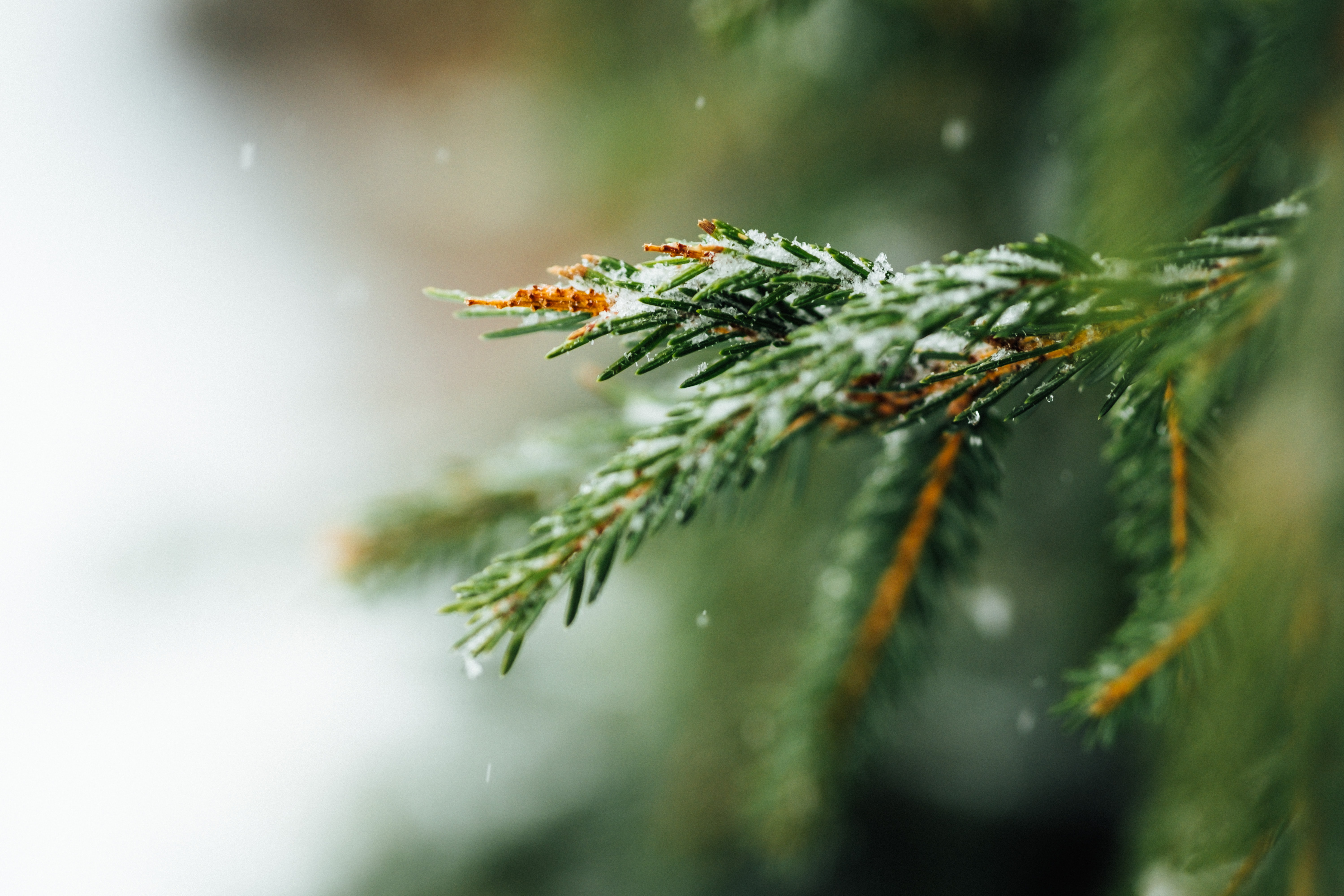 selective focus photography of snow covered pine tree leaves