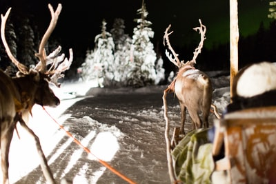 two brown deer standing on snow covered raod sleigh zoom background