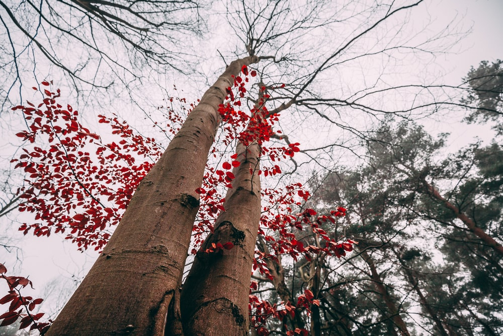 two brown tree trunks with red leaves