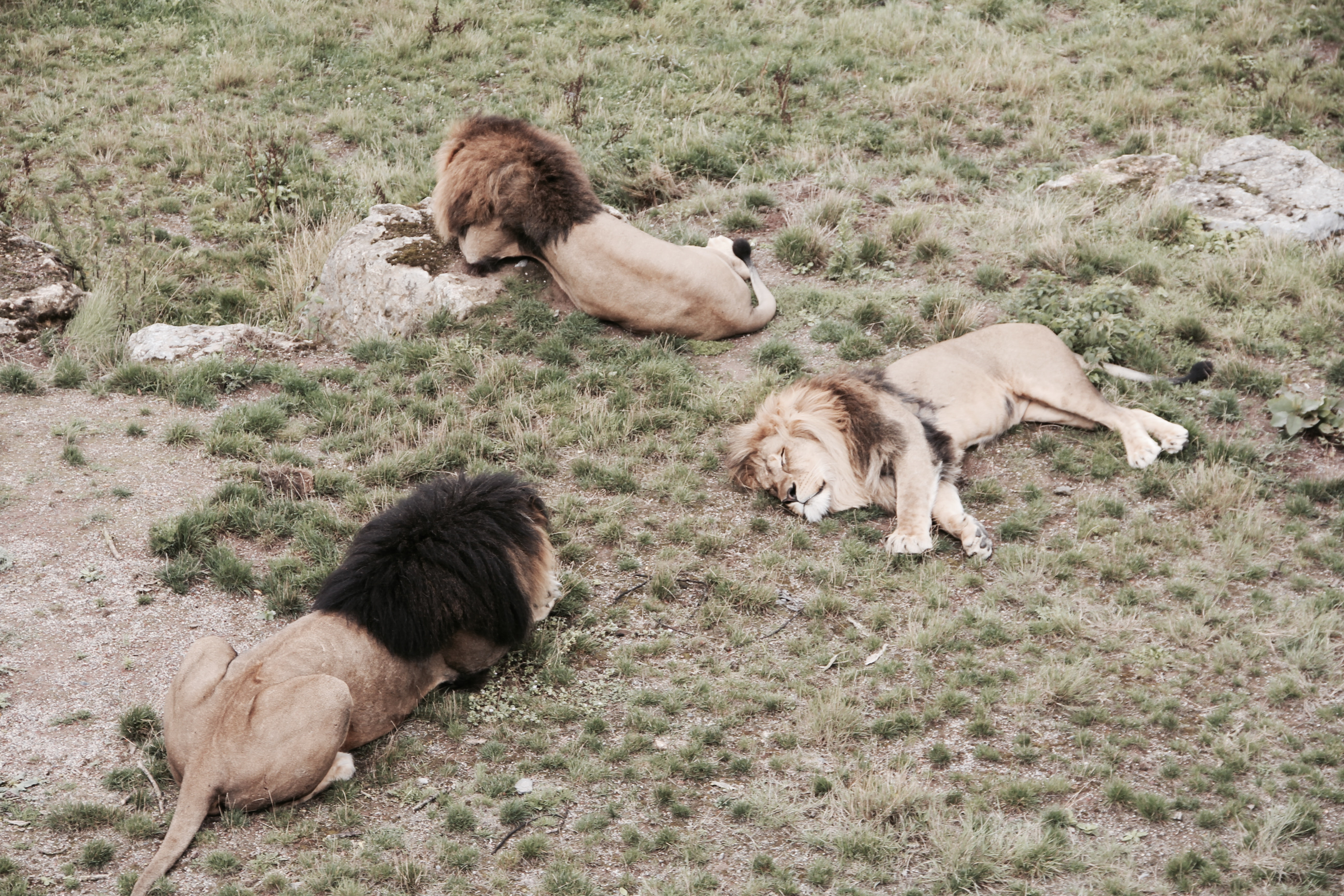 three lions lying on brown grass