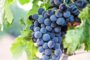 4640. Bor,szőlő, borászatok