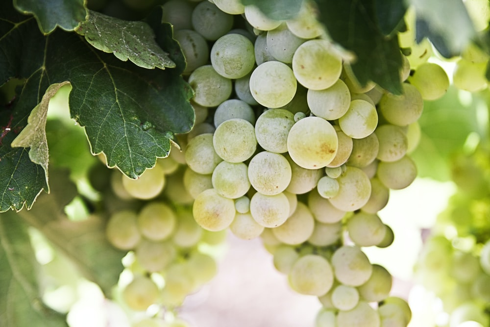 selective-focus photography of green grapes