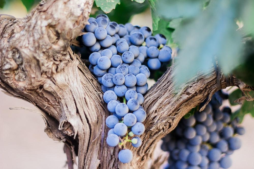 blue berries on tree
