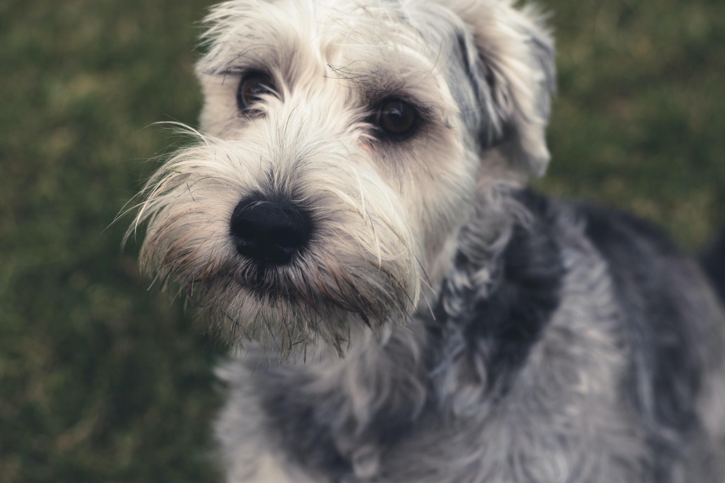 white and black coated dog