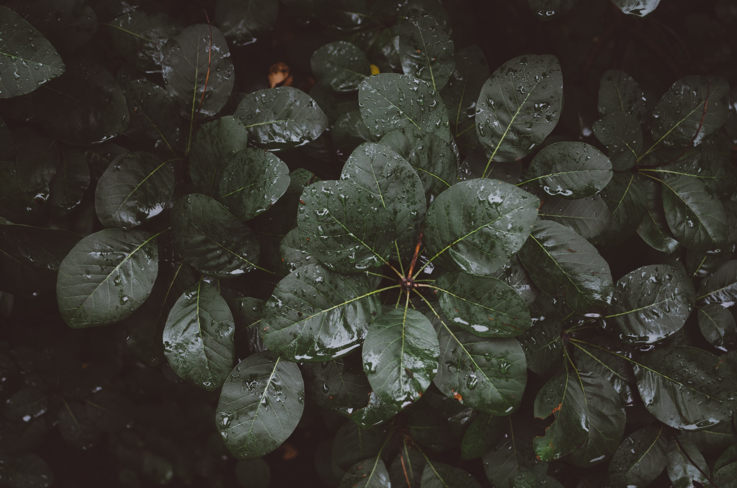 ovate green plant