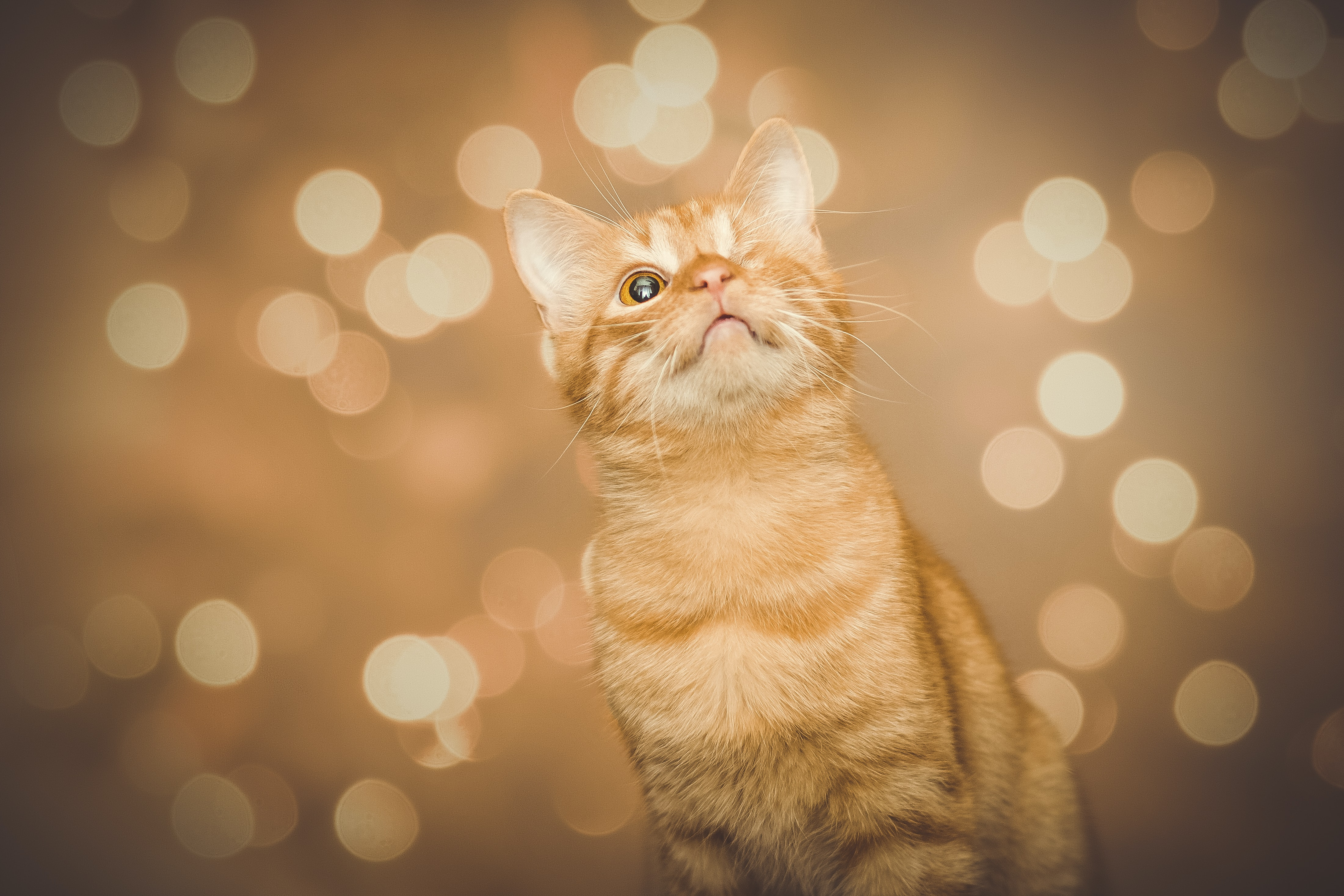 orange tabby cat with bokeh background